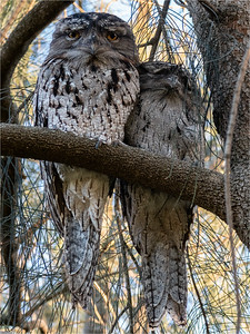 Frogmouth pair