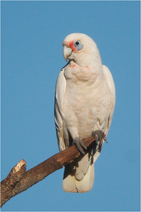 Little Corella out on a limb