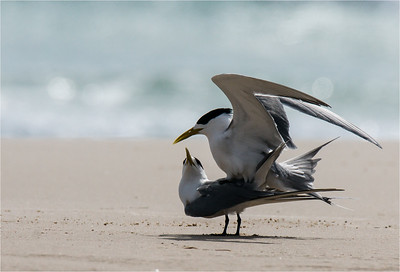 Little Terns Mating