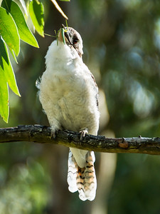 Kookaburra swallowing phasmid