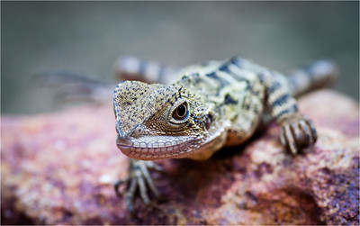 Juvenile Eastern water dragon