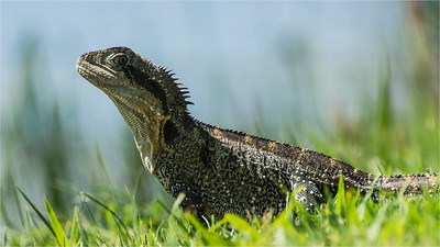 Eastern Water Dragon basking 01