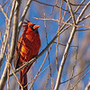 Male Cardinal Perched in Globe Willow Tree<br /> Allen,TX