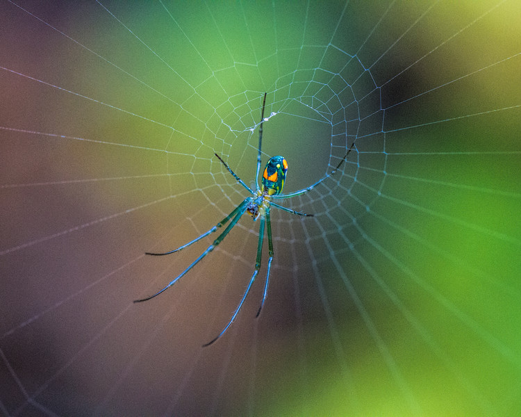 untitled-4706 (Venusta Orchard Spider)