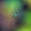 untitled-4706 (Venusta Orchard Spider)