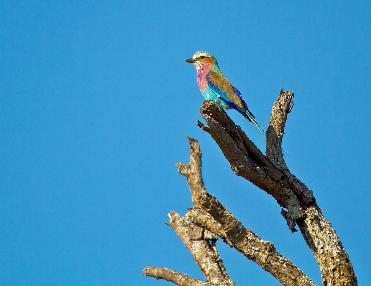 Ngala0716PM-9160 Roller bird