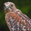 Red_Shouldered_Hawk-1-3