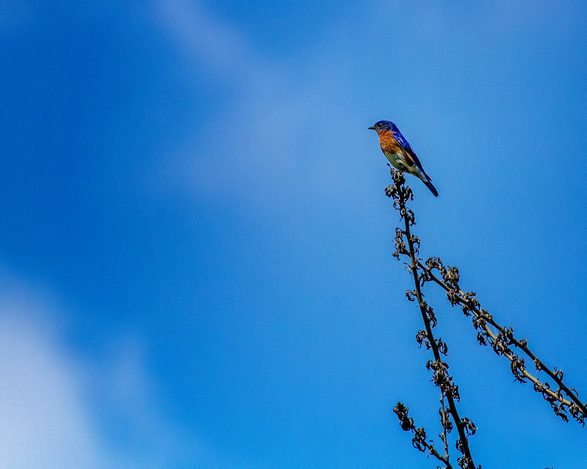 Hagerman_NWR 6239 (bluebird)