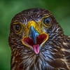 CenterBirdsOfPrey2014-1264 (Harris Hawk)