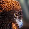 Golden Eagle Stare Down