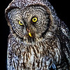 CenterBirdsOfPrey2014-1172 (Great Gray Owl)