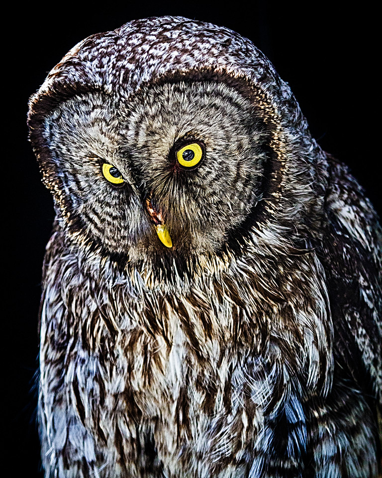 CenterBirdsOfPrey2014-1172 (Great Gray Owl)