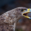 Tawny Eagle-9905