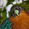 Chestnut-breasted Malkoha-1266