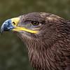 Steppe Eagle 9963
