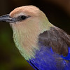Blue Bellied Roller Portrait