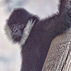 White Cheeked Gibbon<br /> Fort Worth Zoo