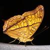 Male Cruiser Butterfly<br /> (Vindula dejone)