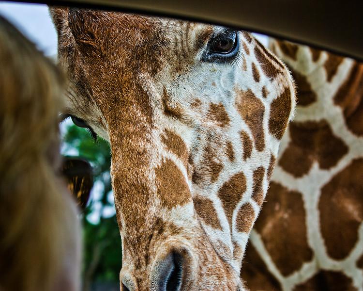 Giraffe Inquisition