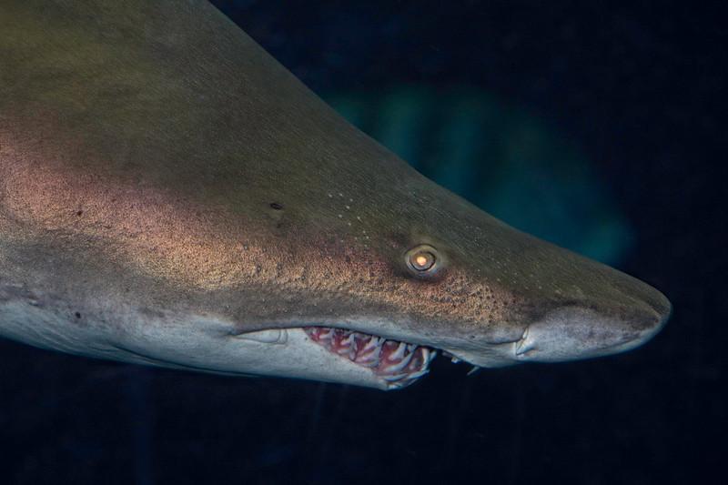AquariumSandTigerShark