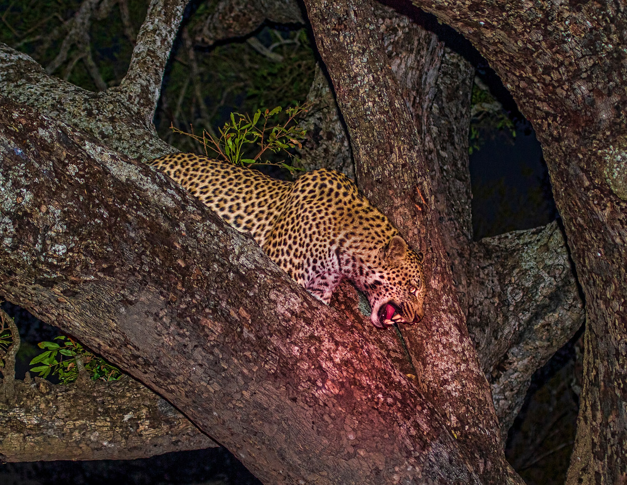 Ngala0715PM-8767 Leopard Snarl