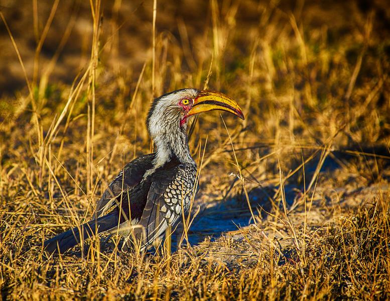 Yellow-Billed Hornbill (Tockus leucomelas)