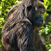 Wary Gorilla