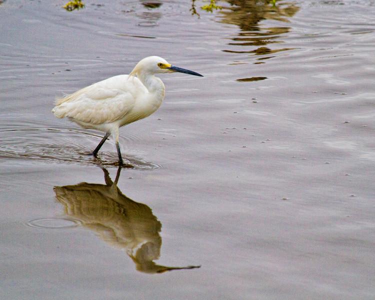 Snowy Egret-9358