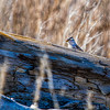White Crowned Sparrow - 9118