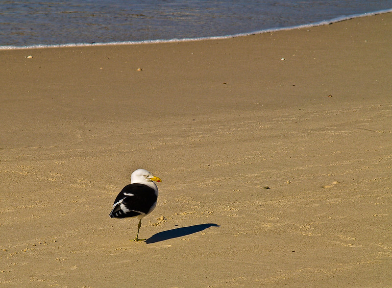 Black Backed Gull on Beach