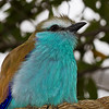 Racket-tailed Roller-1294