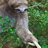 Reaching Sloth - 7307