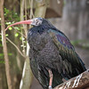 Waldrapp Ibis<br /> Dallas Zoo