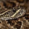 Prairie Rattlesnake - 6250