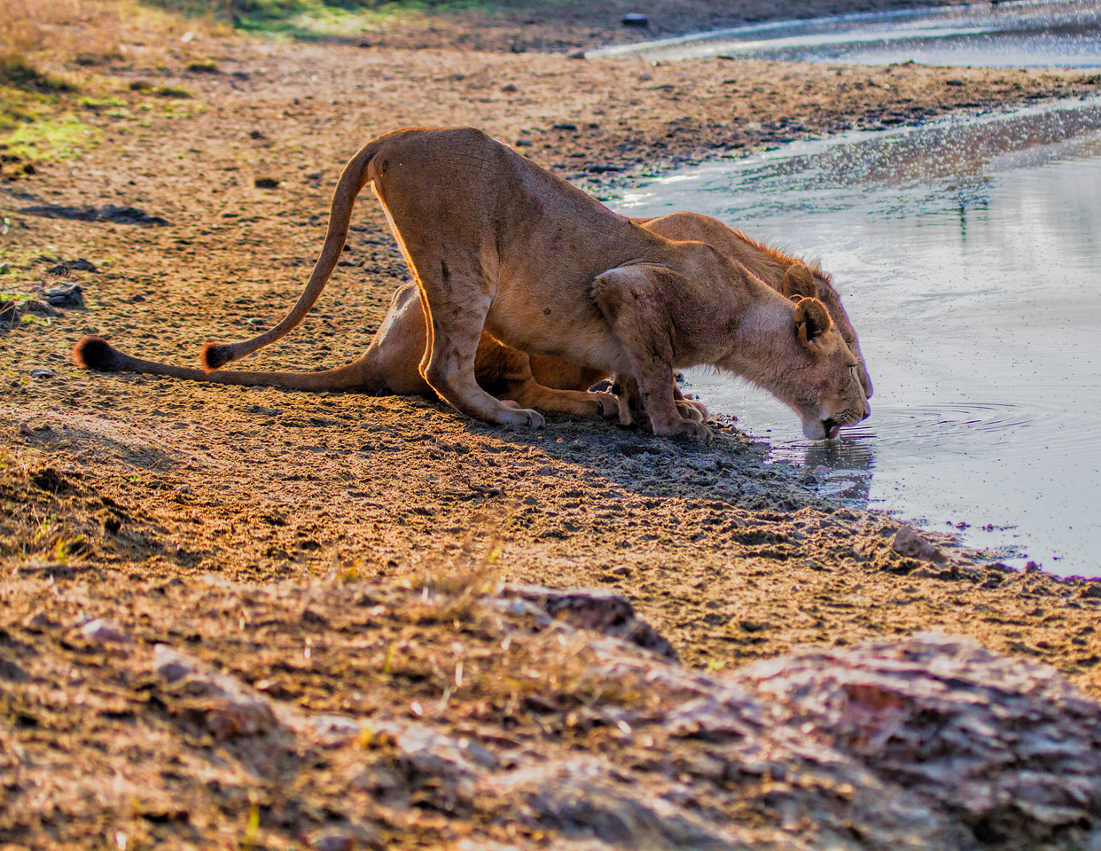 Ngala0715AM-8193 Drinking Lions 1