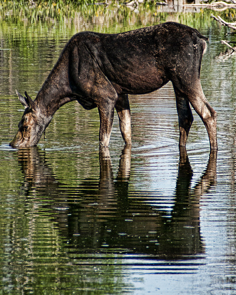 Thirsty Moose <br /> Grand Teton National Park
