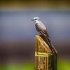 Scissor Tailed Flycatcher - 2412