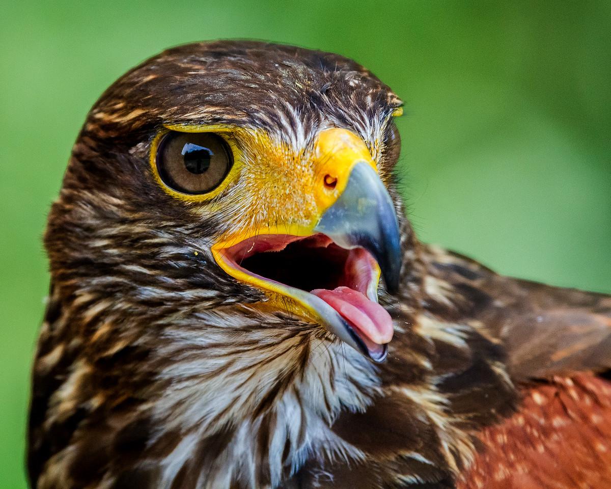 CenterBirdsOfPrey2014-1269 (Harris Hawk)