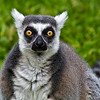 Ring Tailed Lemur-1458