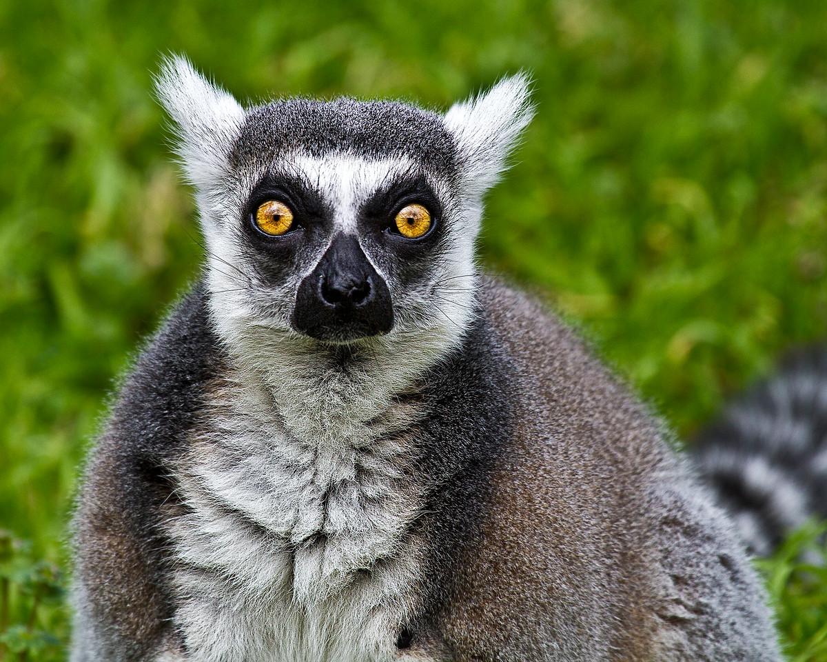 Ring Tailed Lemur-1458