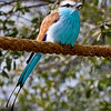 Racket-tailed Roller-1385