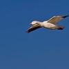 Single Snow Goose-8750