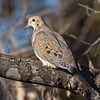 Mourning Dove <br /> McKinney, Texas