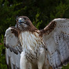 Red_Tailed_Hawk-1506
