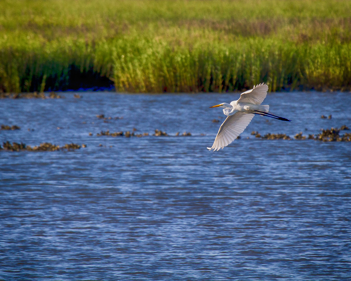 Pawleys2014-8417 (Egret over Marsh)