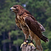 Red Tailed Hawk<br /> Center for Birds of Prey, Awendaw, South Carolina