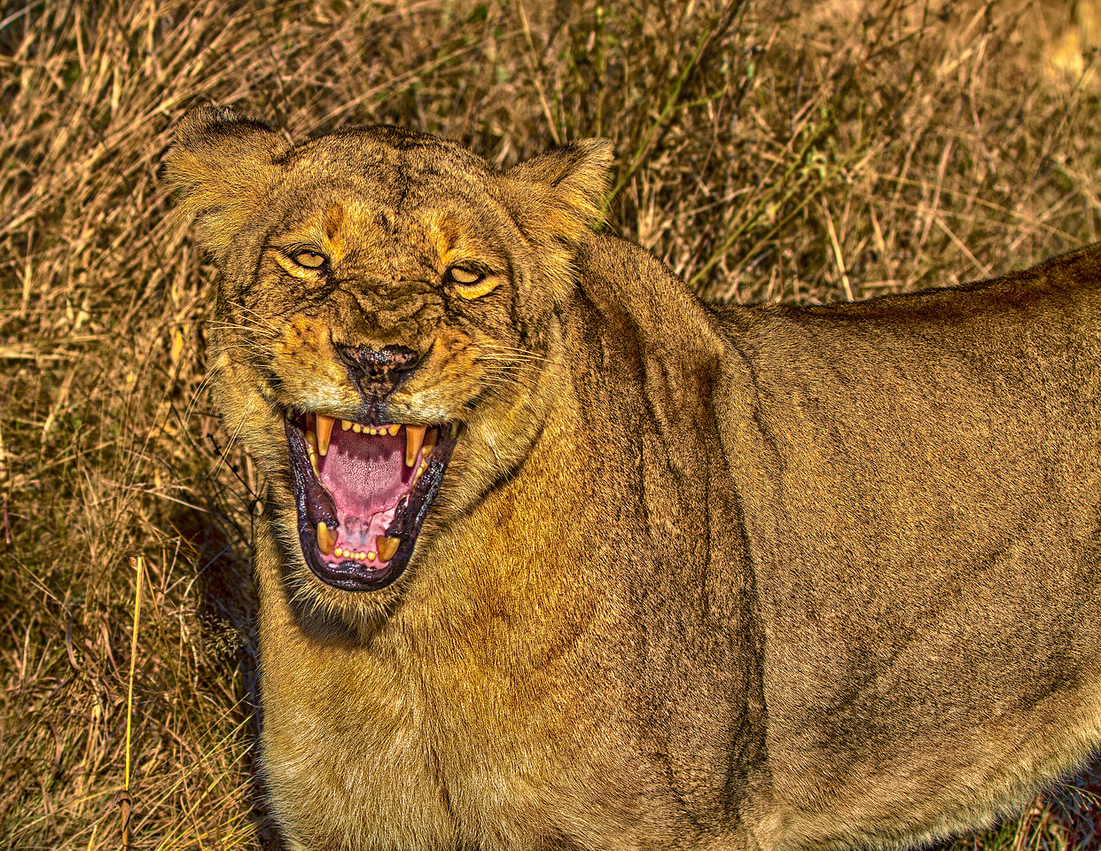 Ngala0714AM-7648 Lioness Snarl