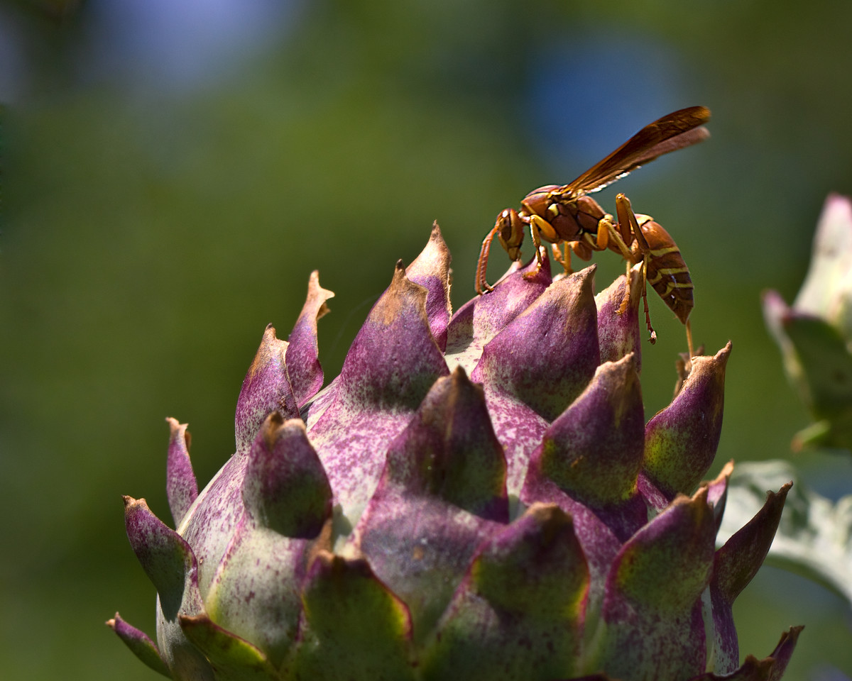 Wasp visiting a Thistle Bud