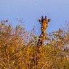 Ngala0714PM-8018 Giraffe Over the Top