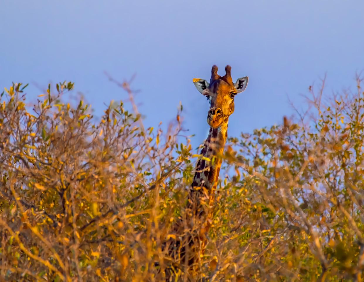 Ngala0714PM-8018 Giraffe Over the Top